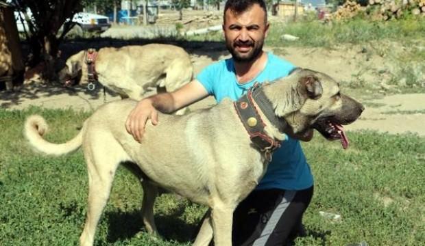 Bu köpeklerin yavrusu daha doğmadan satılıyor