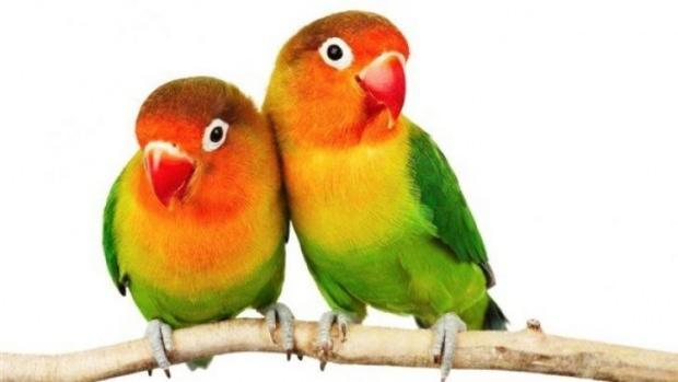 Cennet Papağanı bakımı