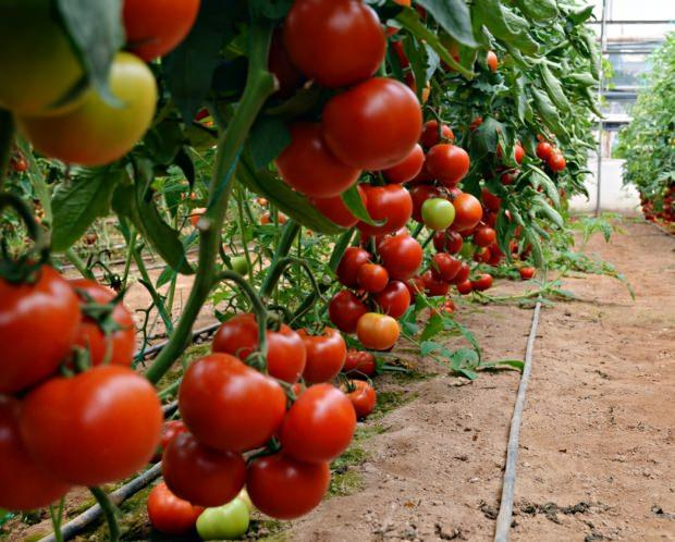 domatesin kalbe faydaları nelerdir