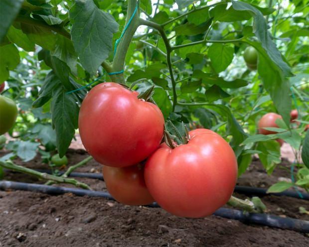 domates nasıl tüketilmeli