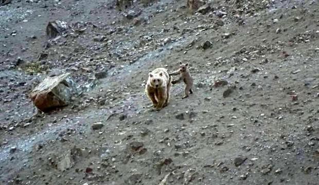 Anne boz ayı ve yavrusu böyle görüntülendi