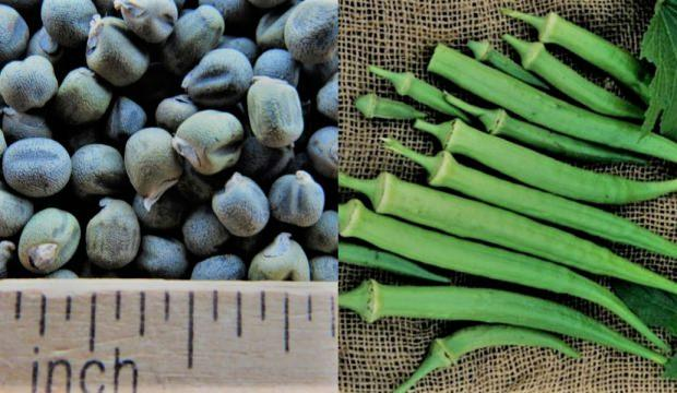 Bamya tohumunun çeşitli faydaları: Bamya tohumu kullanmak zararlı mı?