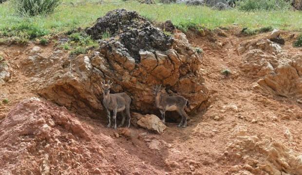 Tunceli'de yiyecek arayan yaban keçileri kara yoluna indi