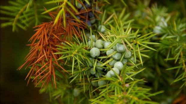 ardıç ağacının faydaları
