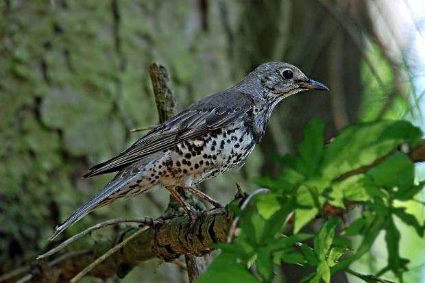 kuşlar ardıç ağacının çoğalmasını sağlar