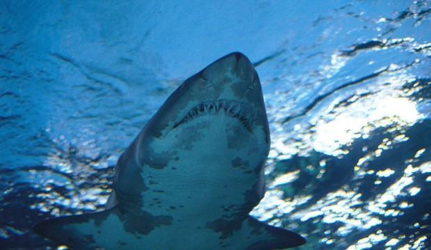 Grönland'da 514 yaşında köpek balığı tespit edildi
