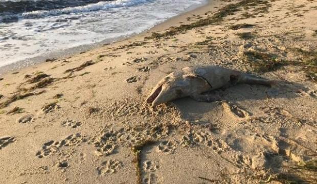 Yavru yunus ölüsü kıyıya vurdu