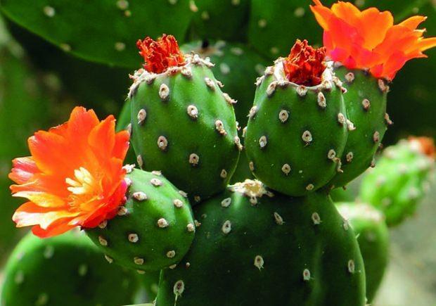 Kaynana dili çiçeği