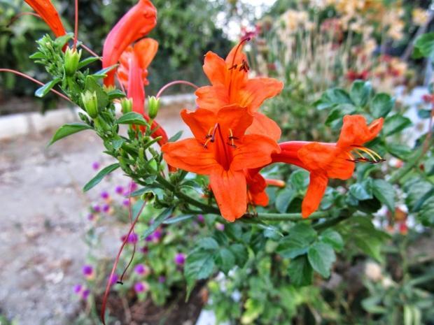 Boru çiçeği