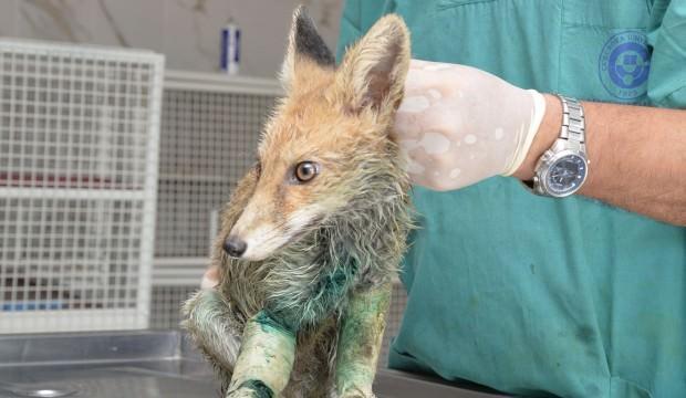 Vurulmuş halde bulunan tilki tedavi altına alındı