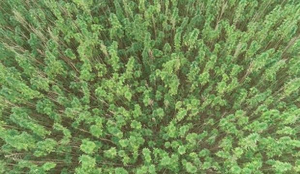 Kenevir tohumu üretimi 2023'te 150 tona çıkacak
