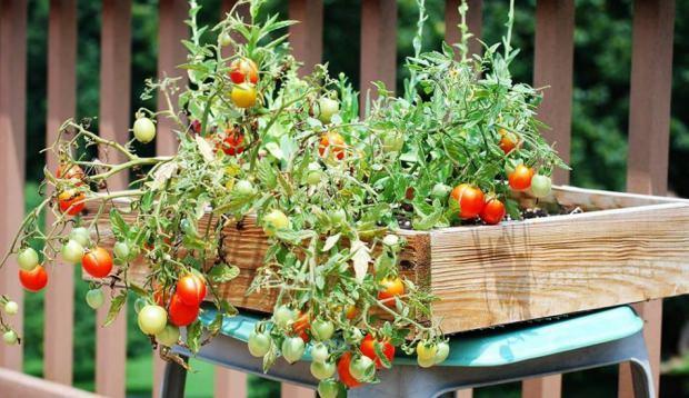 Saksıda domates yetiştirme