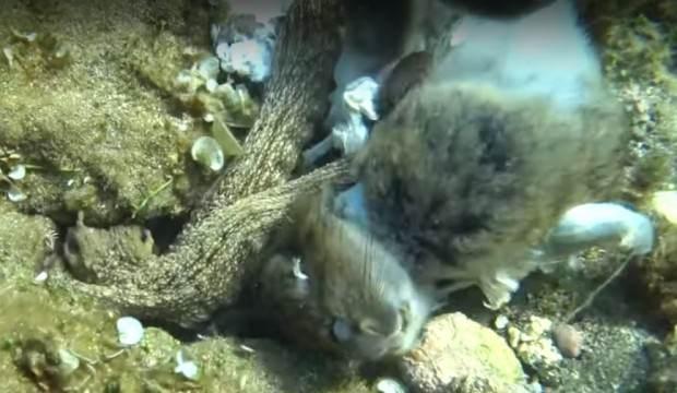 İnanılmaz! Ahtapot, tavşanı yerken görüntülendi...