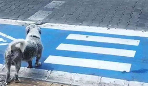 Sevimli köpekten yayalara trafik dersi