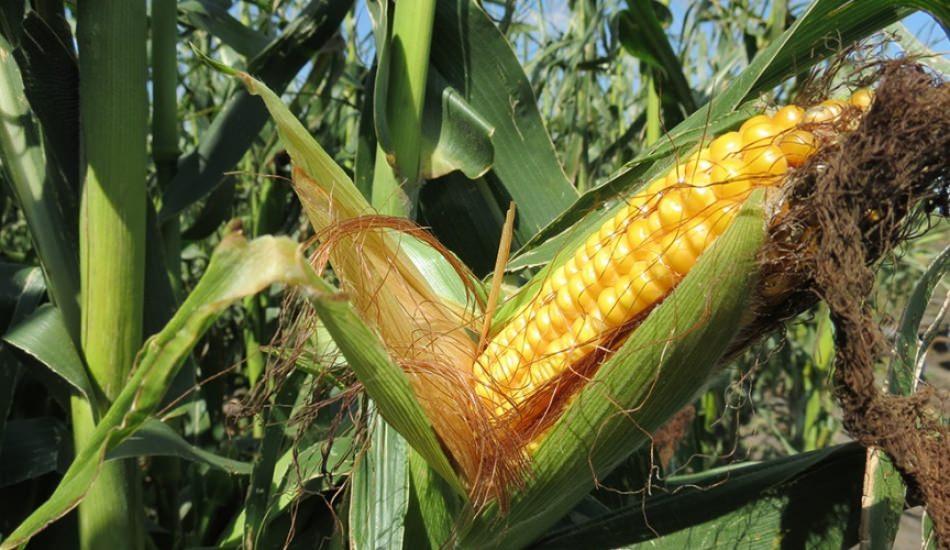 Saksıda tohumsuz sebze nasıl yetişir? Saksıda mısır yetiştirme yöntemi