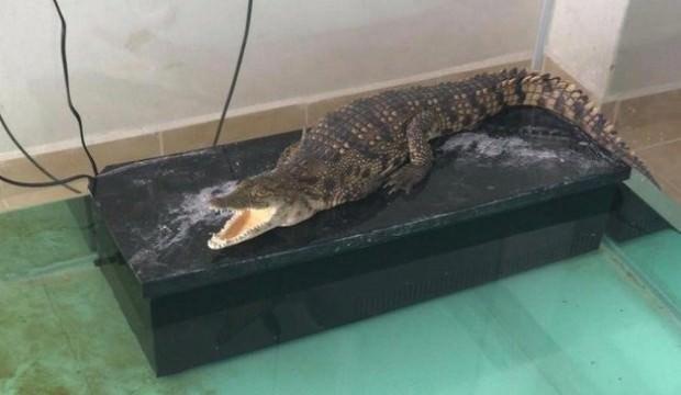 Sahibinden satılık timsah! Polis kıskıvrak yakaladı
