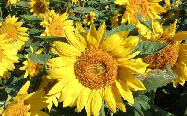 ayçiçeğinin faydaları
