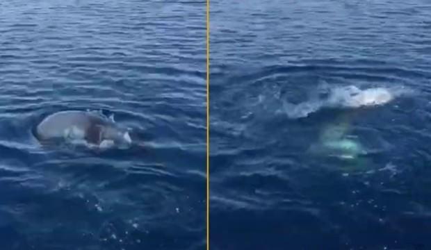 Burası Marmaris! Oltadaki balon balığını kapıp kaçtı