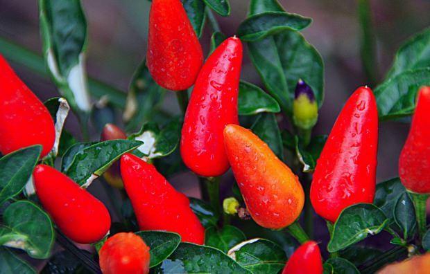Kırmızı biber saksıda nasıl yetişir?