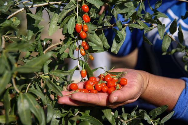Goji, goji meyvesi veya wolfberry, Solanaceae'da bulunan ve gece çekimi ailesinde birbirine yakın iki tür boksör türü olan Lycium barbarum veya Lycium chinense'nin meyvesidir. L. barbarum ve L. chinense meyveleri benzerdir ancak tat ve şeker muhtevasındaki farklılıklar ile ayırt edilebilir.