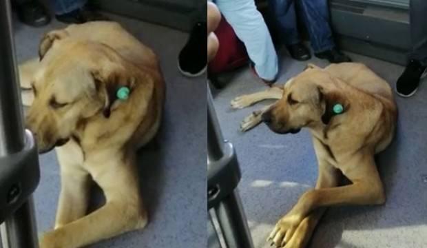 Köpek metrobüse binip seyahat etti!