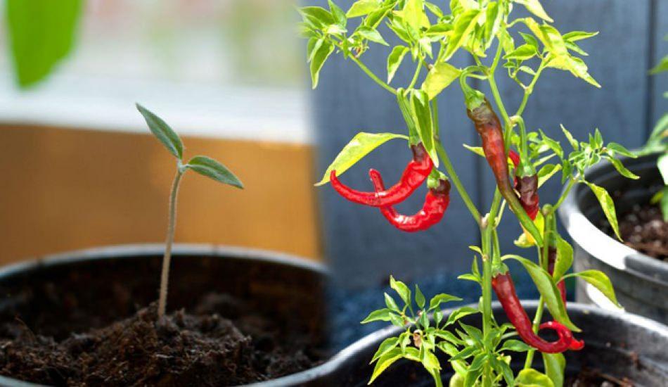 Saksıda tohumsuz sebze nasıl yetişir? Kırmızı biber nasıl yetişir?