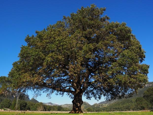kafur ağacının faydaları nelerdir