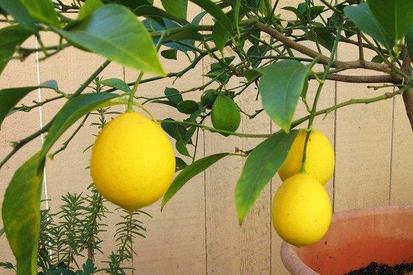 Saksıda limon nasıl yetişir