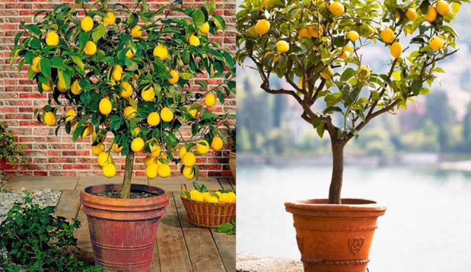 Saksıda tohumsuz sebze nasıl yetişir? Limon saksıya nasıl dikilir?