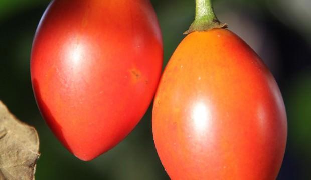 10 ağaçtan 300 kilo domates alıyor