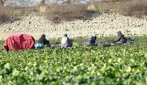 Kuruyan gölde ıspanak yetiştirip Türkiye'ye satıyorlar