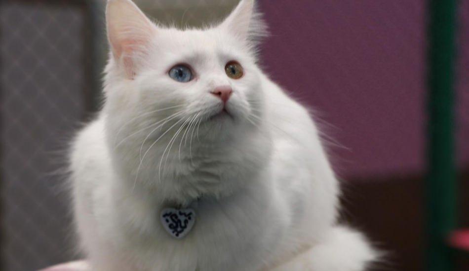 Kedileri Mozart müziği sakinleştiriyor! Van kedilerine Mozart dinletisi...