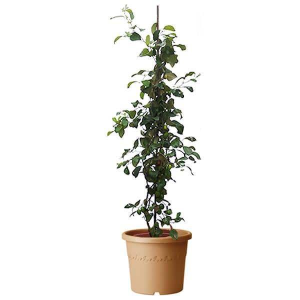 Hünnap bitkisi bakımı nasıl olur?
