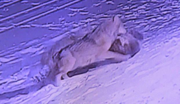 Erzurum'da aç kalan kurtlar köpeği yedi ile ilgili görsel sonucu