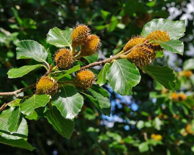 meyveli kayın ağaçları çeşitleri
