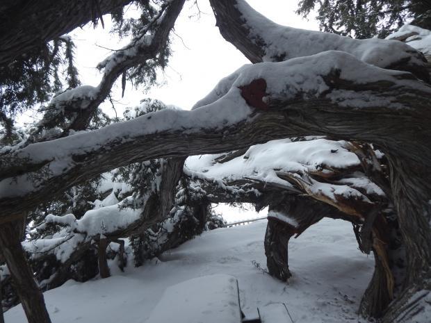 Son dakika - Konya hava durumu - Güncel hava durumu - 2 bin yıllık anıt ağaç