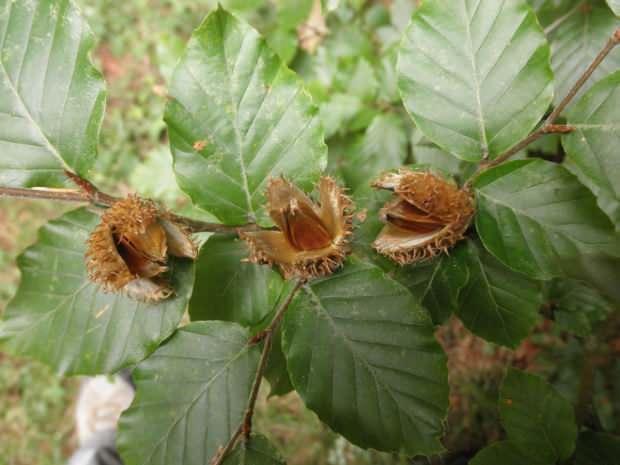kayın ağacı yaprakları
