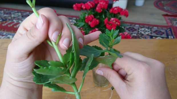 Çiçek nasıl budanır?