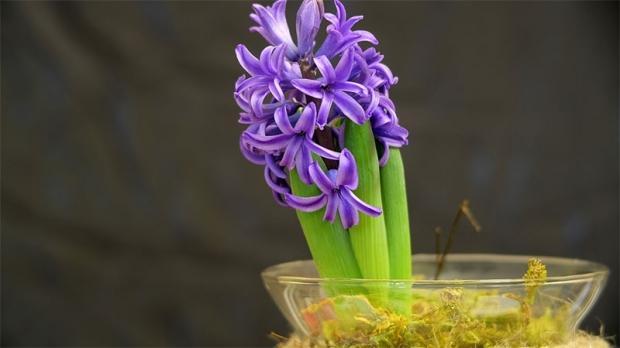 Sümbül çiçeği nasıl çoğaltılır