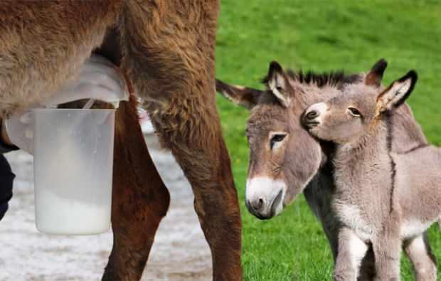 Anne sütüne en yakın süt hangisi?
