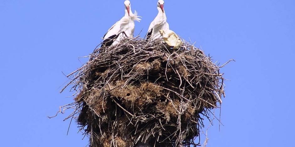Minarenin alemindeki yuva 40 yıldır leyleklere ev sahipliği yapıyor