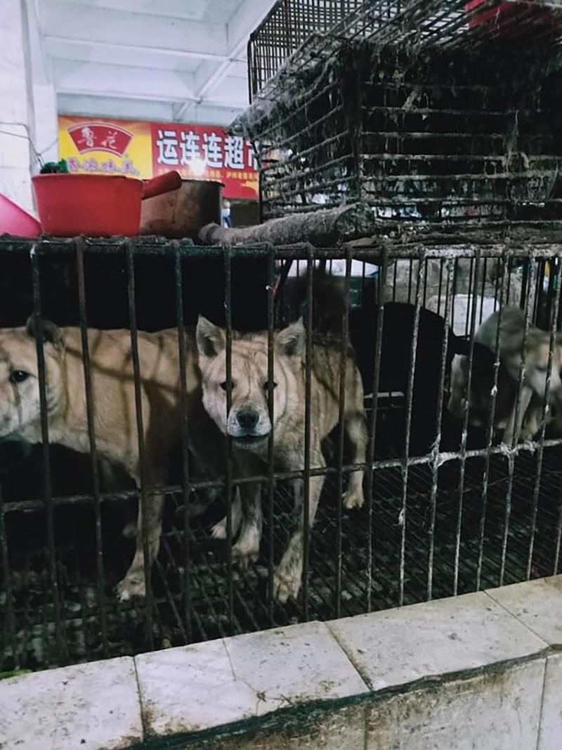 Guilin'de köpekler kesilmek üzere böyle kafesler bekletiliyor...