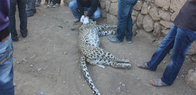 Bilim adamları leopar bilgisini gizli tutuyordu