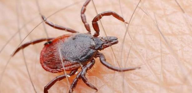 Kenelerden gelen yeni tehlike: Lyme