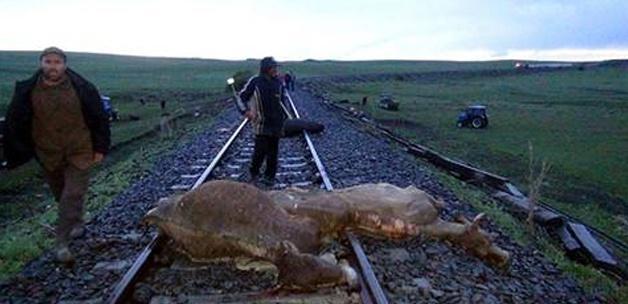 Tren 50 büyükbaş hayvanı biçti