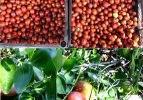 Geyve'de hünnap hasadı başladı