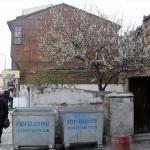 Sinop'ta bazı ağaçlar erken çiçek açtı