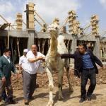 Mahalleli kurban edilecek devenin peşine düştü