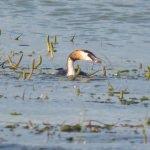 Kuş cennetinde yavrularını büyüten su kuşları ilgi odağı