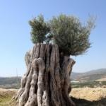 Yeniden dikilen 800 yıllık ağaç meyve verdi